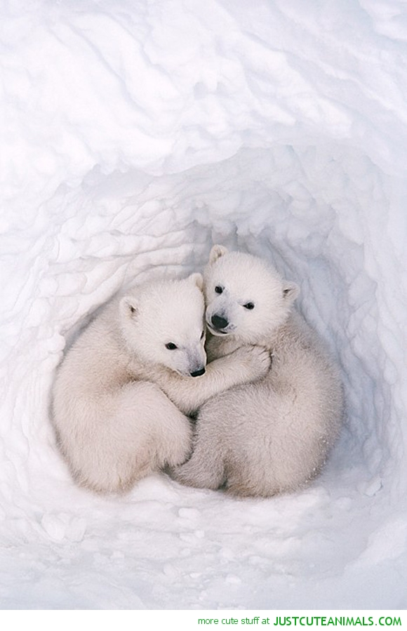 cute-animals-little-polar-bear-cubs0hugging-cuddling-pics